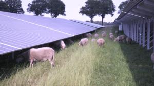Schapen bij zonnepark hoogveld uden houden het gras laag